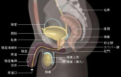 男性器の図